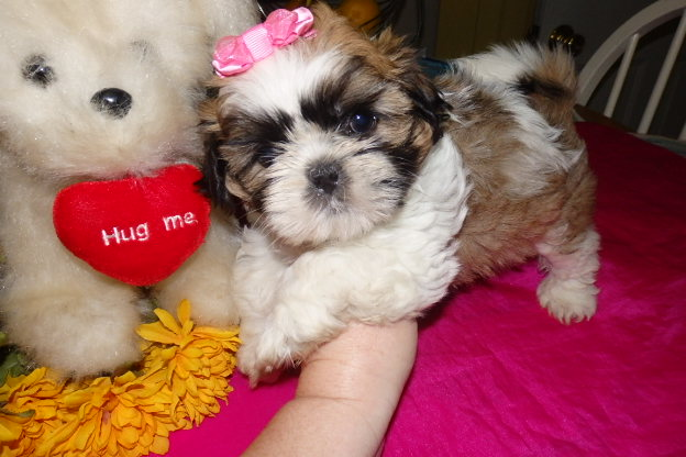 Furry Friends Shih-Tzu's